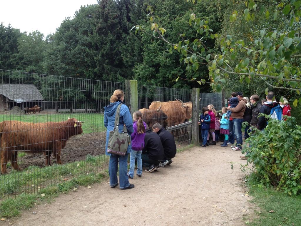 Шотландские коровки и дети.