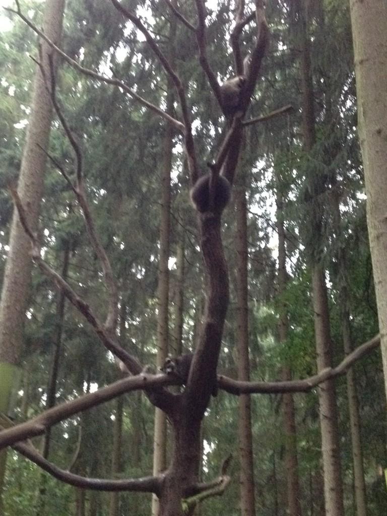 Еноты спят на дереве. Германия.