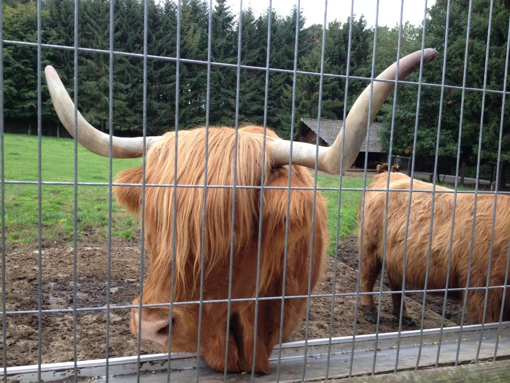 Шотландская коровка. Германия.