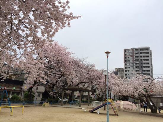 Абрикосы цветут вокруг детской площадки
