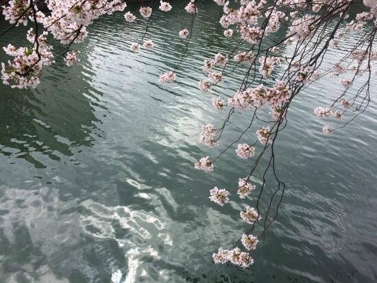 Ветки Сакуры над рекой в  Японии